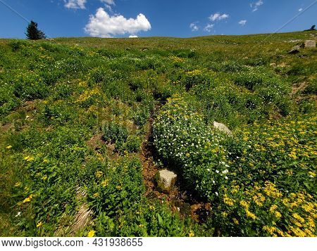 Alpine Tundra Flowers On Rollins Pass In Indian Peaks Wilderness And Arapaho National Forest, Colora