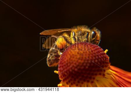 Honey Bee Covered With Yellow Pollen Drink Nectar, Pollinating Flower. Inspirational Natural Floral