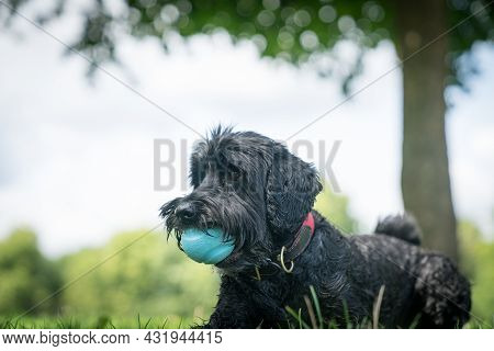 Black Dog On Lawn With Blue Ball In Mount Obediently Waiting.
