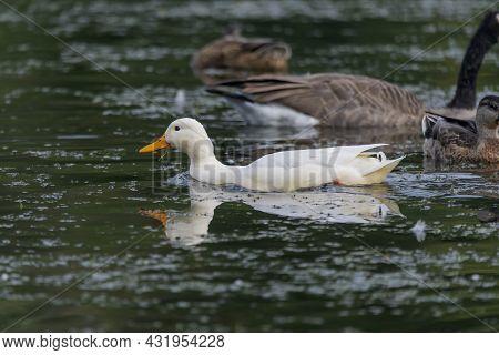 The Rare White Mallard Duck In The Park