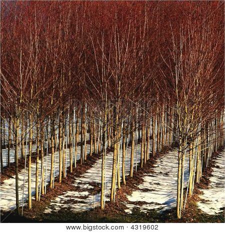 Rows Of Red Trees In Nursery