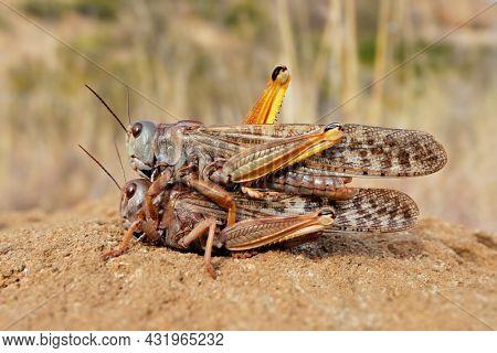 A pair of brown locusts (Locustana pardalina) mating, South Africa