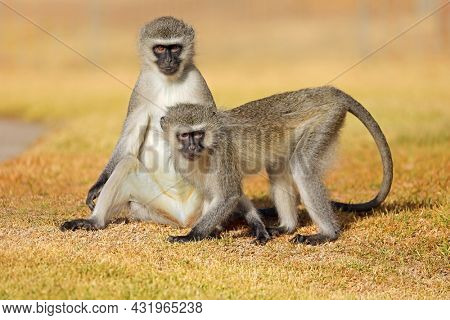 Two vervet monkeys (Cercopithecus aethiops) sitting on the ground, South Africa