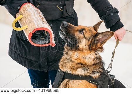 Training Of Purebred German Shepherd Young Dog Or Alsatian Wolf Dog. Attack And Defence. Training Wi