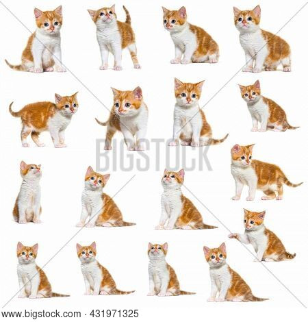 Collection of many different portrait of a kitten Mixed-breed cat red and white Isolated on white