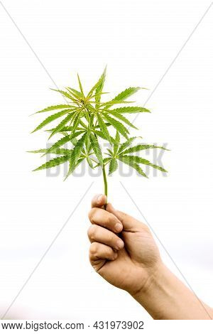 Man Holding Legal Green Marijuana Cannabis Sprout In His Hand At White Background. Isolate Cannabis
