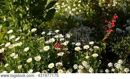 Pink Soft Daisy Flower Blossom, Delicate Marguerite. Natural Botanical Close Up Background. Wildflow