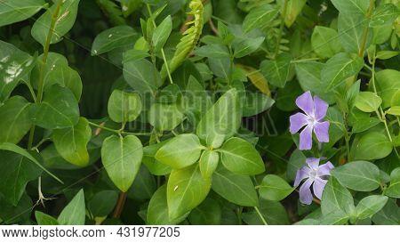Vinca Deicate Lilac Flower Blossom. Natural Botanical Close Up Background. Periwinkle Wildflower Mau