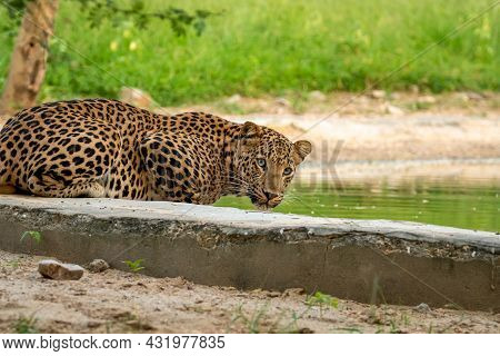 Indian Wild Male Leopard Or Panther Portrait Quenching Thirst Or Drinking Water From Waterhole With