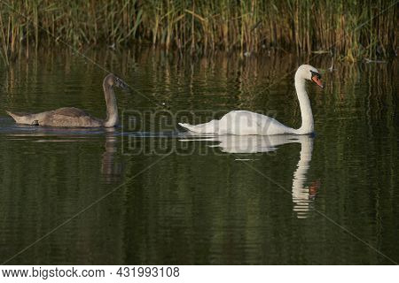 Mute Swan (cygnus Olor) With Nearly Full Grown Cygnet Swimming On A Lake At Ham Wall In Somerset, En