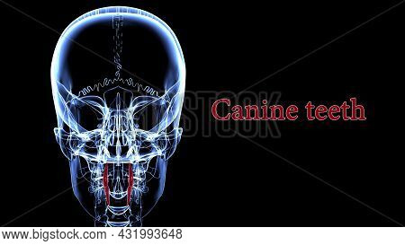 Human Teeth Canine Anatomy 3d Illustration For Medical Concept