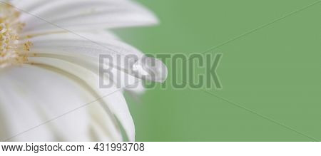 Soft focus blur white chamomile flower petal with water drop on green. Nature light delicate horizontal long background.