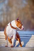 English bull terrier. Thoroughbred dog. Canine friend. Red dog. Dog on a bench. Dog on walk. poster