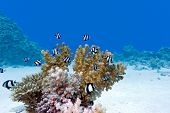 coral reef with hard coral and exotic fishes at the bottom of red sea in egypt poster