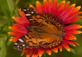 Close-up of an American Painted Lady butterfly feeding on a bright colored Indian Blanket flower poster