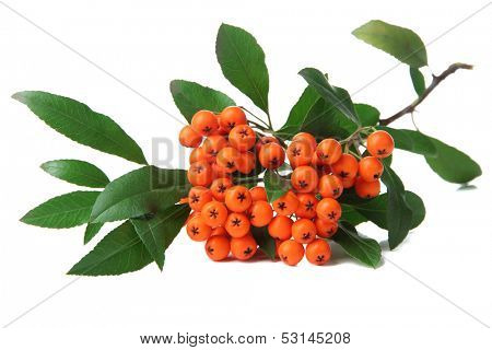 Pyracantha Firethorn orange berries with green leaves, isolated on white poster