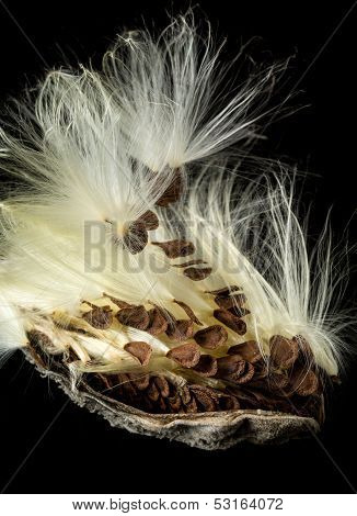 Highly detailed macro image of the seed pod from Swamp Milkweed flower Asclepias incarnata which has wispy windblown feathery strands attached to brown seeds that are carefully aligned in the shell poster