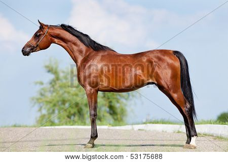poster of Front animal (Arabian horse - conformation).