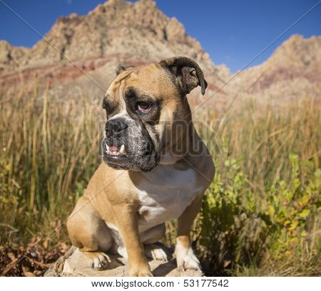 Extreme close up of a bulldog in the desert