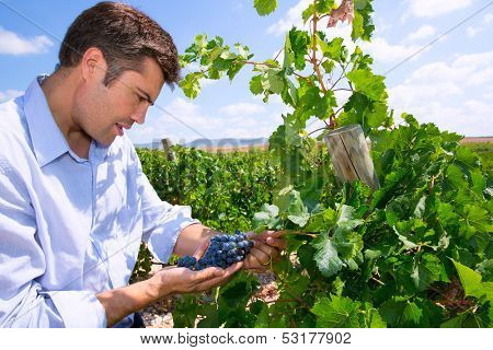 Winemaker oenologist checking Tempranillo wine grapes ready for harvest in Mediterranean poster