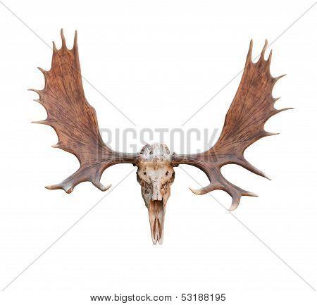 Skull Moose