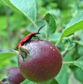 Red bug sitting on apple in summer orchard. poster