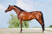 Front animal (Arabian horse - conformation). poster