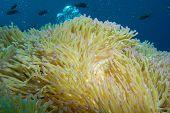 magnificent sea anemone in the indo pacific poster