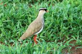 A crowned plover on green grass South Africa. poster