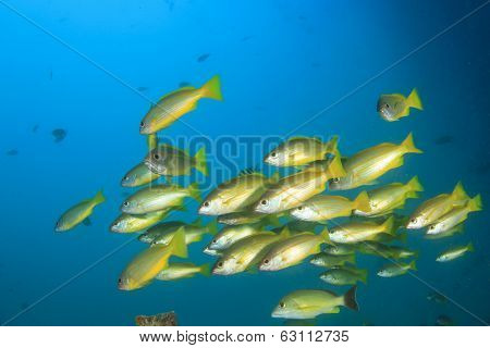 School of yellow fish: Bluelined Snappers