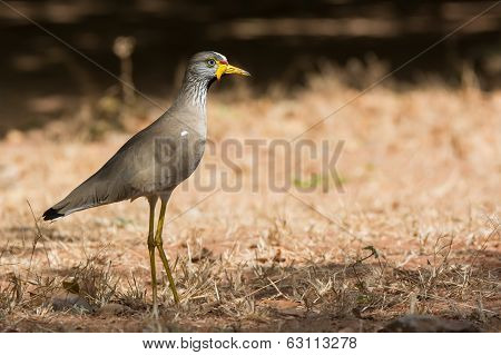 Profile Of An African Wattled Lapwing (vanellus Senegallus)