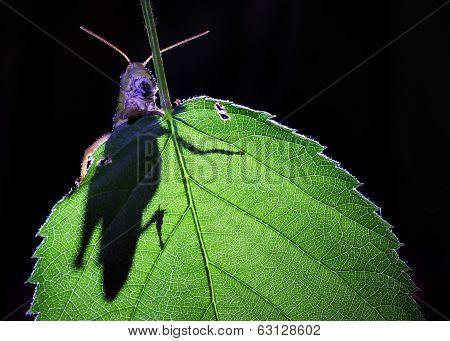 The shadow of grasshopper on green leaf.