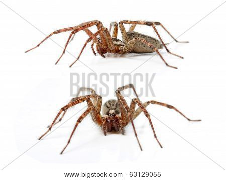 The Hobo Spider Tegenaria Agrestis
