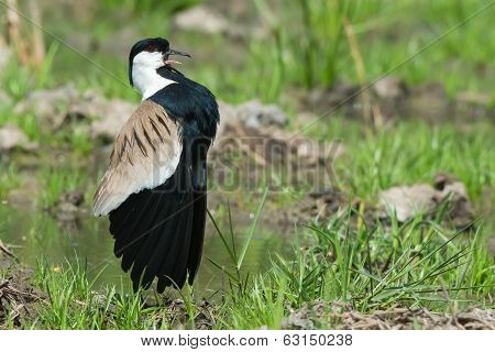 Spur-winged Plover (vanellus Spinosus) Displaying Proudly On The Edge Of A Grassy Pond