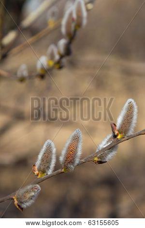 Fluffy Willow Branch