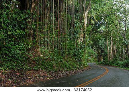 Lush Forest along the Road to Hana, Maui Hawaii