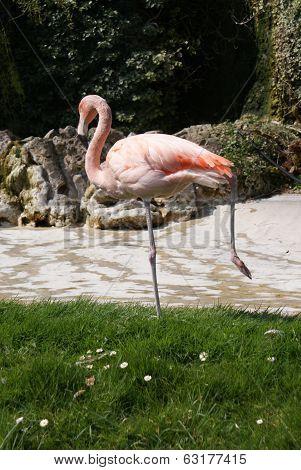 Chilean Flamingo - Phoenicopterus Chilensis