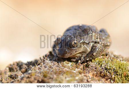 Common Spadefoot in natural habitat - Pelobates fuscus poster
