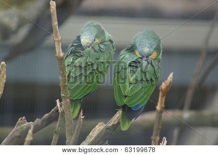 Orange-winged Amazon Parrot - Amazona Amazonica