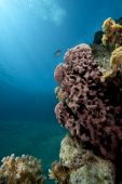 ocean and prickly tube sponge taken in the red sea. poster