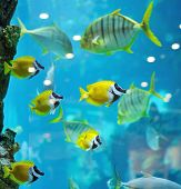 several foxface fish in blue water of aquarium poster