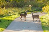 Two deer on a city park bike path in early morning light poster