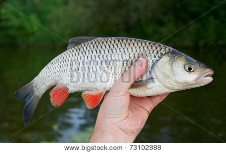 Big chub in fisherman's hand against river and shore