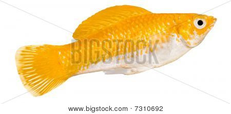 Yellow Molly