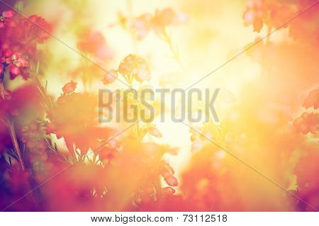 Heather flowers on a fall, autumn meadow in shining settng sun that gives warm mood. Vintage retro style.