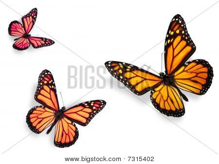 Three Monarch Butterflies Isolated On White
