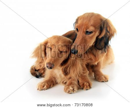 Two dachshund puppies cuddled up together.