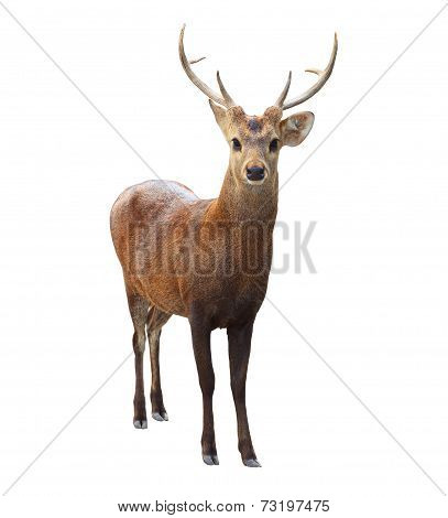 Portrait Face Of Wilderness Deer With Beautiful Horn Isoalted White Background