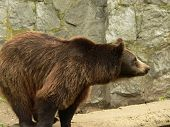 Brown bear waiting and looking for the food in the zoo (it was feeding time for animals in the zoo)  poster