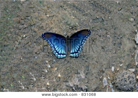 Blue butterfly resting in the dirt poster